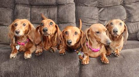 Doxie_5_Pack small